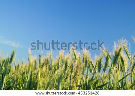 field of rye and sunny day with blue sky
