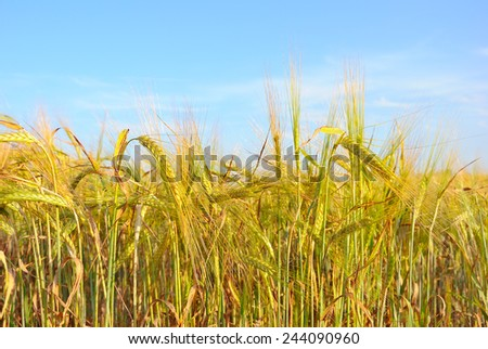 Field of rye in sunny day - stock photo
