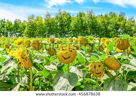 Field of Smiling sunflowe at Furano, Hokkaido, Japan - stock photo