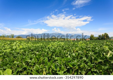 Field of soybean with mountains in background. Italian agriculture. Rural scenery - stock photo