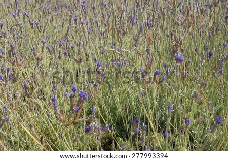 Field of Spanish lavender, selective focus on the central flower - stock photo
