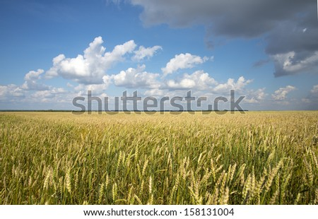 field of spikelets