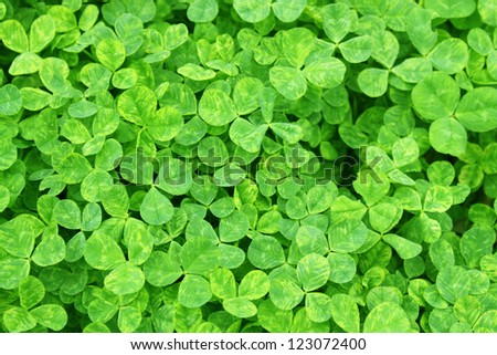 Field of spring clover leafs - stock photo
