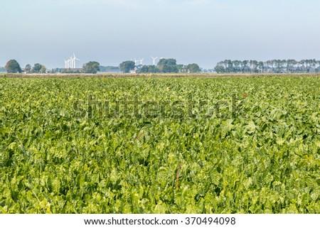 Field of sugar beat plants, beta vulgaris, in polder of Friesland, Netherlands - stock photo