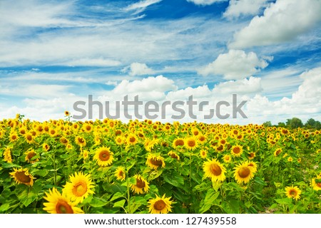 field of sunflovewrs - stock photo