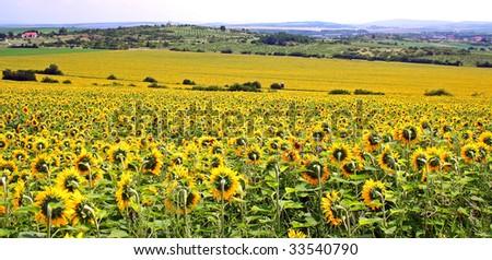field of sunflower - stock photo