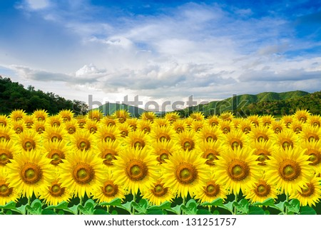 Field of sunflower with mountains and sky.