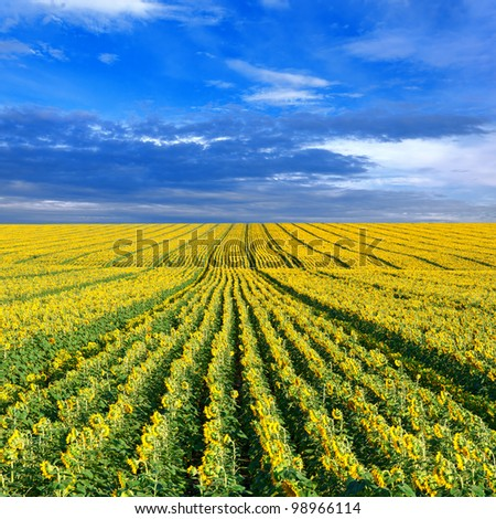 Field of sunflowers against a blue sky - stock photo