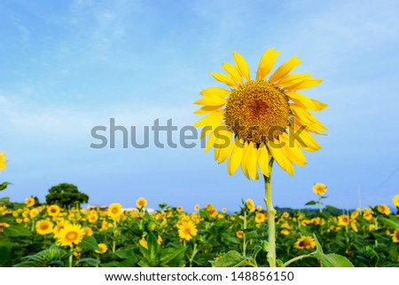 Field of sunflowers and blue sky - stock photo