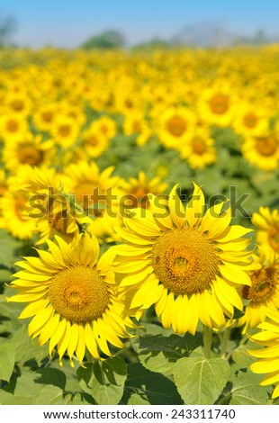 Field of sunflowers and blue sky. - stock photo