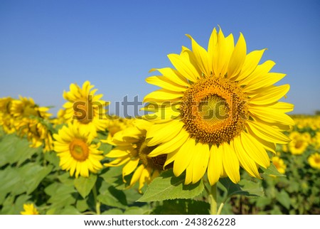 Field of sunflowers and blue sky.