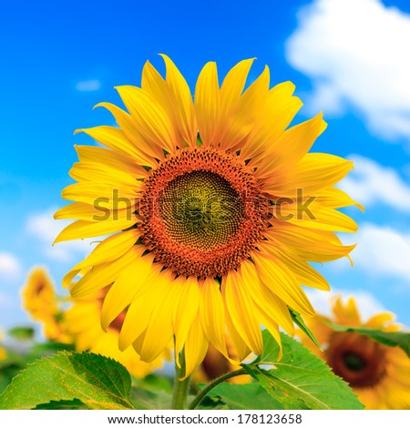Field of sunflowers and blue sky at Pra-Yao Province Thailand - stock photo