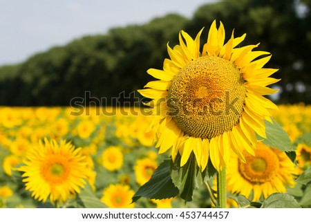 field of sunflowers at sunrise, flowers close-up , blue sky