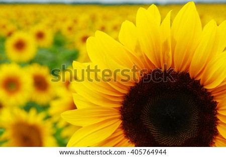 Field of sunflowers . Close up of sunflower against a field - stock photo