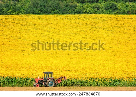 Field Of Sunflowers In Bulgaria - stock photo