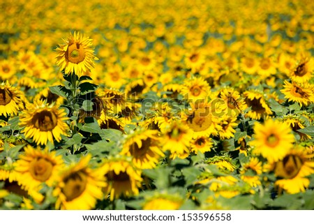 Field of sunflowers in Provence - stock photo