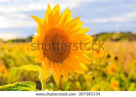 Field of sunflowers in summer: closeup of beautiful yellow flower in the sun - stock photo