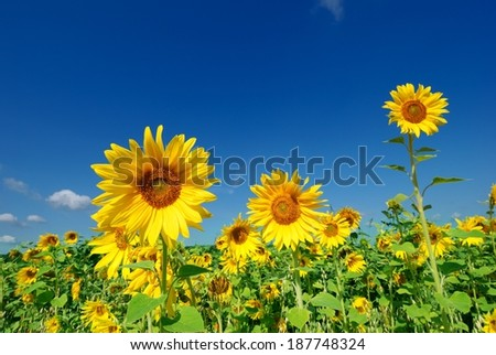 Field of sunflowers on a background of blue sky - stock photo