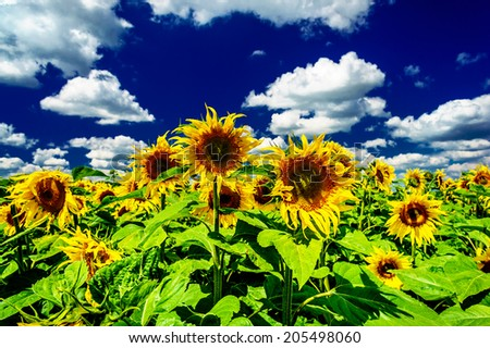 Field of sunflowers on a background of the blue-blue sky.  - stock photo