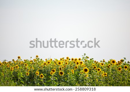 Field of sunflowers on a rural farm against the sky on bottom border with copyspace - stock photo