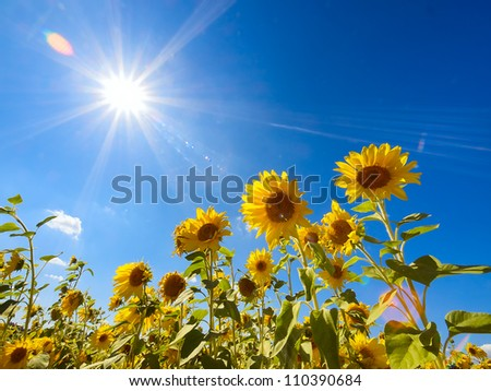 Field of sunflowers under bright sun - stock photo