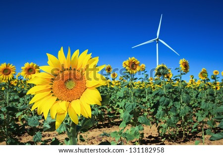Field of Sunflowers with a windmill in the background - stock photo