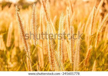 Field of sunny and dry grass flowers - stock photo