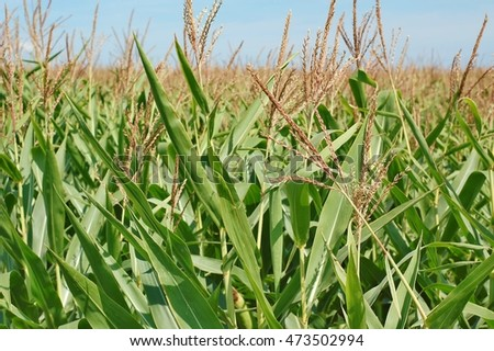 Field of sweet corn plants, front horizontal view