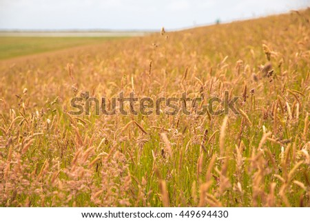Field of tall grass with seeds on a hill, taken with shallow depth of field - stock photo