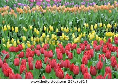 Field of Tulip  - stock photo