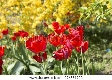 Field of tulips in the sunlight. Beautiful tulips on yellow background. Selective Focus.