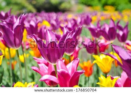 Field of Tulips - Purple, Yellow and Orange bulbs - stock photo