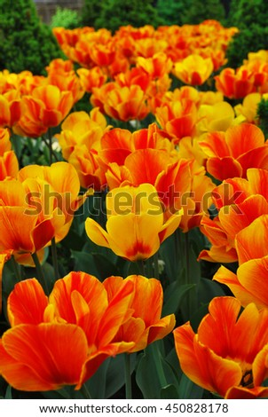 field of tulips, tulips cute, colorful tulips, petals amazing tulips,Tulip. Beautiful bouquet of tulips. colorful tulips. tulips in spring,colourful tulip