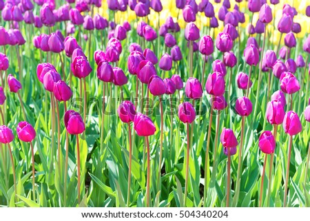 Field of tulips with many violet and yellow flowers