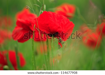 Field of vibrant red poppies blowing in the breeze - stock photo