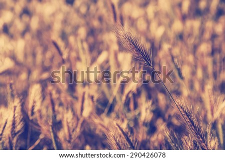 Field of weat on wind, Wheat at sunset - stock photo