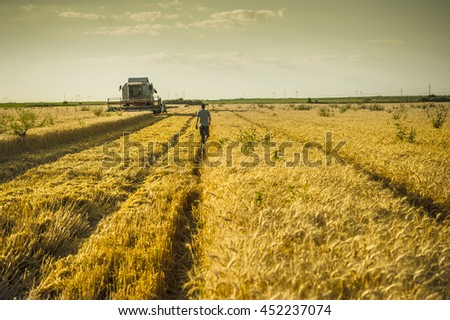 Field of wheat at harvesting time