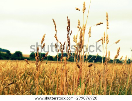 Field of wheat ears in the country
