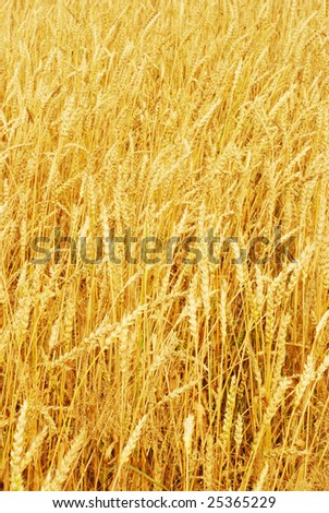 Field of wheat in a sunny day