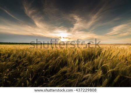 field of wheat in sunset - stock photo