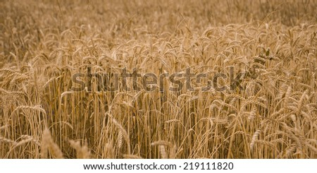 Field of wheat ready to be harvested. - stock photo