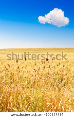 Field of wheat with blue sky and cloud - stock photo