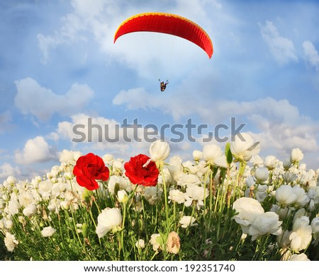 Field of white garden buttercups ranunculus asiaticus, among which grow two red buttercups. Big red parachute flies over the field - stock photo