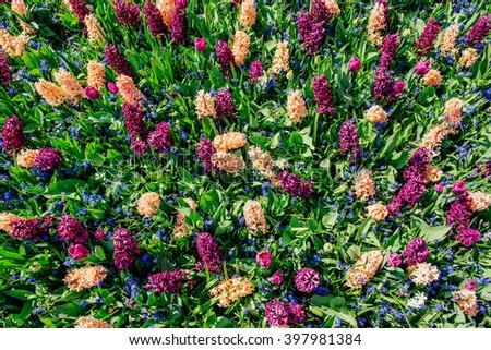 field of wild flowers. Spring landscape. Keukenhof Flower Park. Holland - stock photo