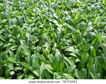 Field of wild garlic (allium ursinum) - stock photo
