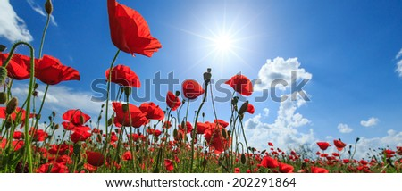 Field of wild red poppies on a sunny summer day  - stock photo