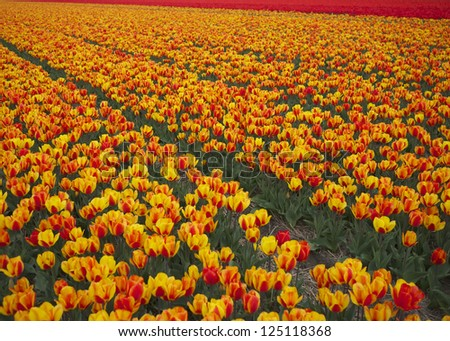 Field of yellow and red tulips forming a diagonal