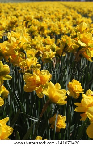 Field of yellow daffodils - stock photo