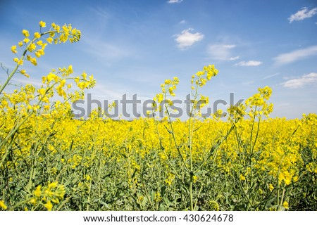 Field of yellow flowering oilseed rape isolated on a cloudy blue sky in springtime (Brassica napus), Blooming canola, rapeseed plant landscape. Slovakia - stock photo