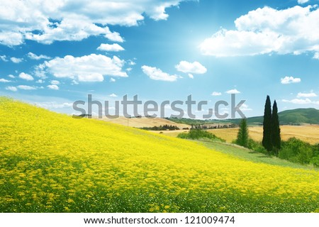 field of yellow flowers Tuscany, Italy - stock photo